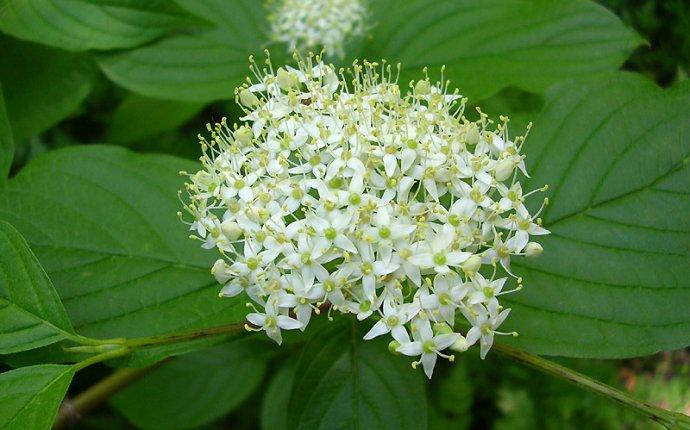 Дерен белый: посадка и уход. Как выращивать дерен белый