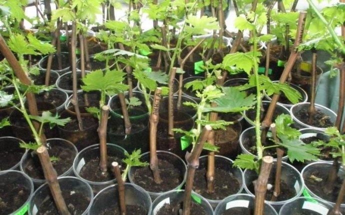 Как посадить виноград черенками осенью - выращивание винограда