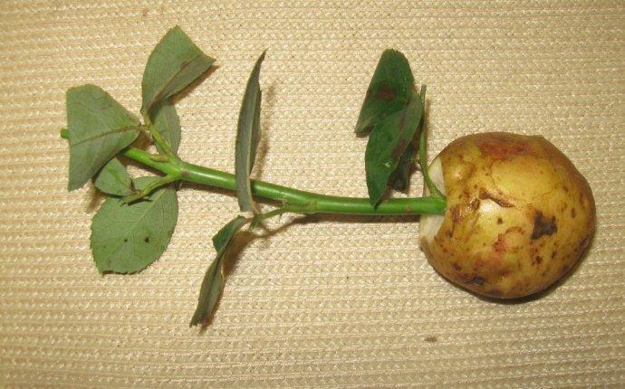 Как укоренить черенки розы в домашних условиях из букета — Stoi