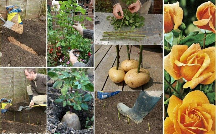 Ответы@Mail.Ru: как посадить розу из черенка