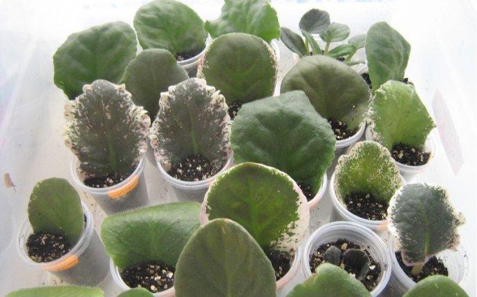 Размножение фиалок листом (черенки фиалок)