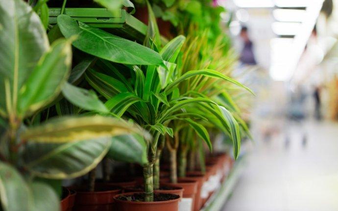 Размножение фикуса в домашних условиях: черенками, листом, отводками
